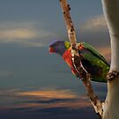 Sunset Lorikeet by byronbackyard