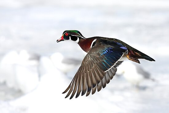 Wood Duck on High by Jim Cumming