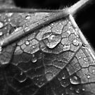 Water drop on leaf by Matthias Keysermann