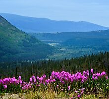 Fireweed in MacDonald Valley by Yukondick
