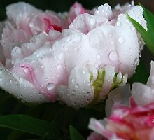 Peony after the Rain by Mattie Bryant