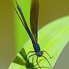 Damselfly by SteveBB