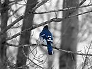 Blue Jay by Marcia Rubin
