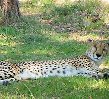 Comfy Cheetah by Bob Hardy