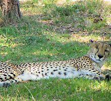 Comfy Cheetah by Bob Hardy