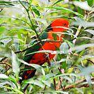 Australian King Parrot Mt. Dandanong  by ASSA