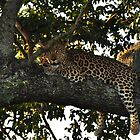 Leopard resting by Karine Radcliffe