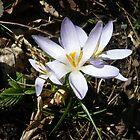 Delicate Spring Flower by HeklaHekla