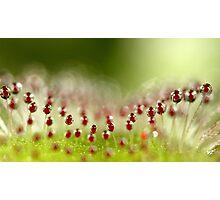 Sundew Photographic Print