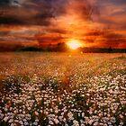 Daisies field by Julia Shepeleva