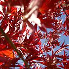 Japanese Maple by puddingpiesjb