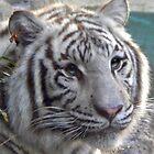 white tiger by jashumbert
