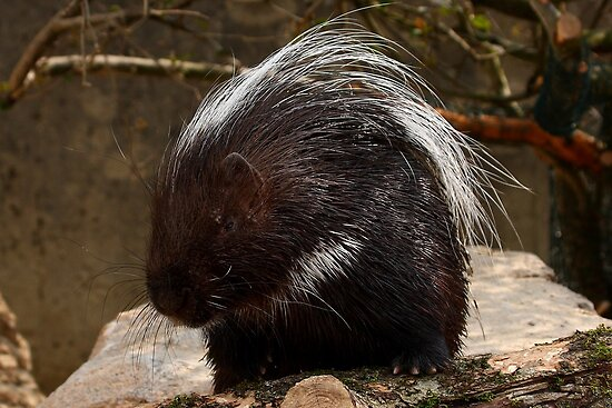 Mr Porcupine by Mark Hughes