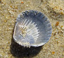 Macro Scallop Shell by carolinagirl10