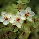 Spring Blossom by Sandra Cockayne