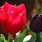 Tulips, Pink Frilly with Queen of the Night by Bev Pascoe