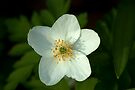 Simple beauty of one little flower by steppeland