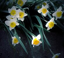 flowing dafodils by Cmarcotte