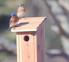 Mr. and Mrs. Bluebird by Renee Blake