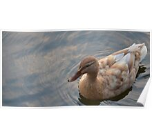 Stone Coloured Duck Poster