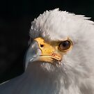 African Fish Eagle (Haliaeetus vocifer) by Steve  Liptrot