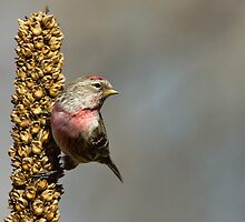 Common Redpoll Male by Wayne Wood
