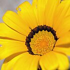 Close Gazania Study II by jayneeldred