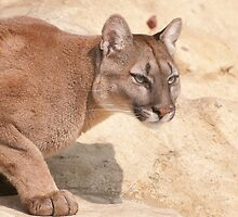 Cougar/Puma  _(Puma Concolor)_ by ©FoxfireGallery / FloorOne Photography