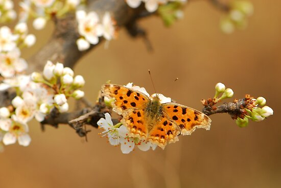 plum blossomed with comma by davvi