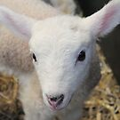 A beautiful little lamb by Abigail Jennings