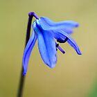 Small blue flower 2 by Jouko Mikkola