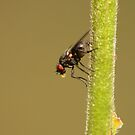 Fly on a vertical straw by Jouko Mikkola