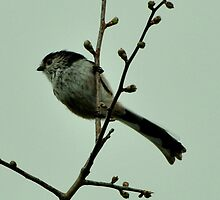 Long tailed Tit by Russell Couch