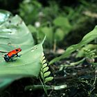 Strawberry Poison Dart Frog  by Robbie Labanowski