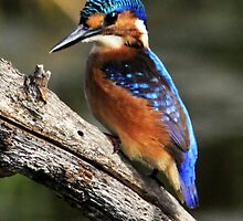 Baby Kingfisher  by ajay2011