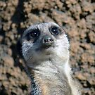 Amusing Meerkat by Ashley Wells