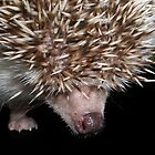 African Pygmy Hedgehog by Abigail Jennings