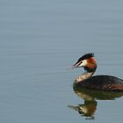 Great Crested Grebe by JanSmithPics