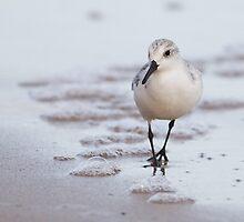 Sanderling by Nigel Tinlin
