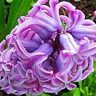 jacinthe aux couleurs du printemps by Franlaval