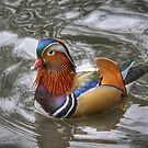 Drake Mandarin in Breeding Plumage by Jamie  Green