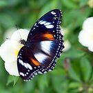 Common Eggfly Butterfly in my Innisfail garden by Jenny Dean