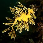 Leafy Seadragon from Rapid Bay Jetty by Deb Aston