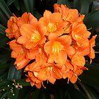 Orange Blossom by Braedene