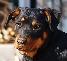 Muddy Nose - Murdock The Rottweiler Pup by MiDulceLocura