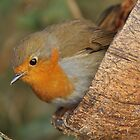 Robin by Mairead1