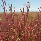 Red saltbush - Coorong National Park, South Australia by Nansia
