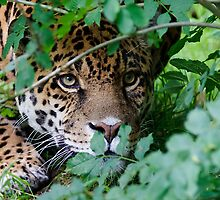 The Jaguar (Panthera onca) Big Cat by Robert Wright