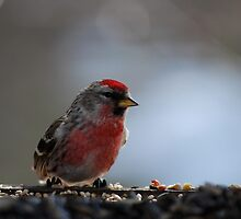 Common Redpoll by Diane Blastorah