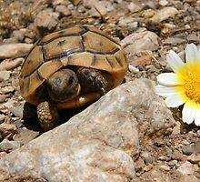 Baby Tortoise by Robbie Labanowski